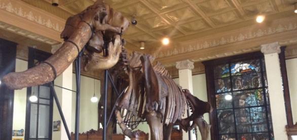Osamenta de un animal prehistórico descubierto en México