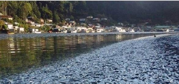 Toneladas de peces muertos en el río Queule