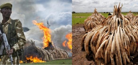 imágenes de la quema de marfil en Kenia