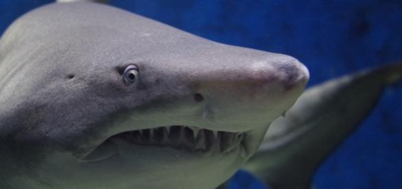 """Un """"pez"""" cartilaginoso: el tiburón"""