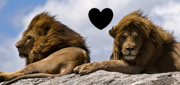 Leones macho enamorados, la foto de la red