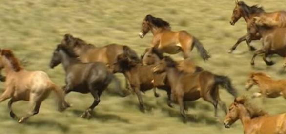 los caballos, conocidos como Brumbies