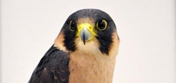 Taita Falcon, by Tiggertai. CC 2.0/wikipedia.