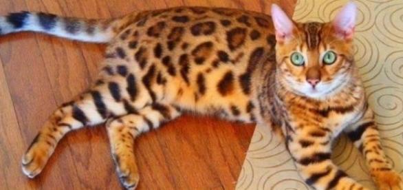 Bengal Cat: Gato de bengala ou Bengal.