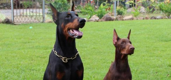 Cortar as orelhas e caudas dos cães é crime