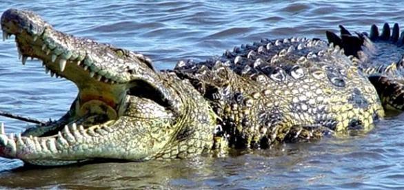 Un hombre de 72 años sobrevive a una lucha con cocodrilos