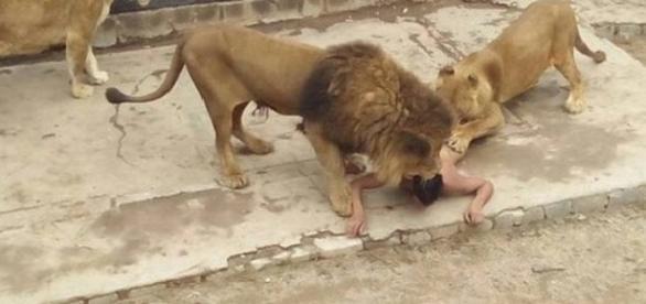 Jovem de 20 anos se atira em jaula de leões em zoológico de Santiago (Foto: ONG Animal Libre)