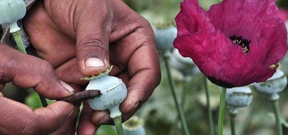 Cultivador rascando la planta de opio