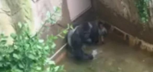 Gorila gigante tenta matar criança de 4 anos