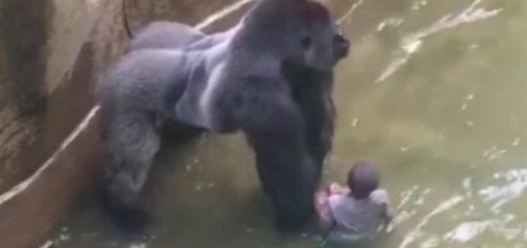 Gorila Occidental de llanura en peligro de extinción