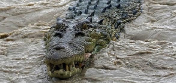 Un cocodrilo nadando en su hábitat