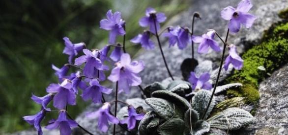 A pequena flor roxa do Monte Olimpo na Grécia