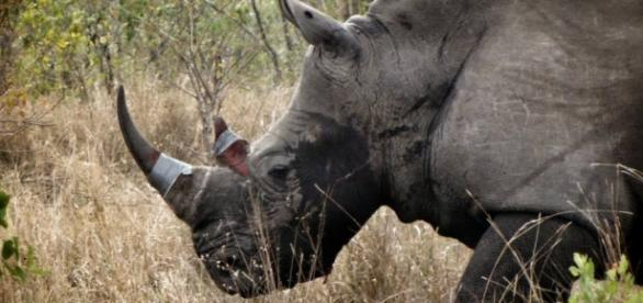 Rhino head from facebook page rhino rescue project