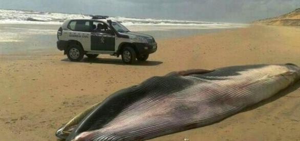 La ballena varada en las playas de Huelva