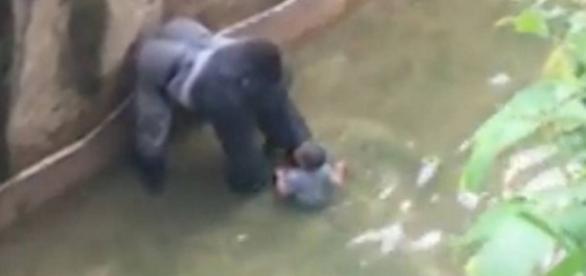 Gorila é assassinado após quase matar criança