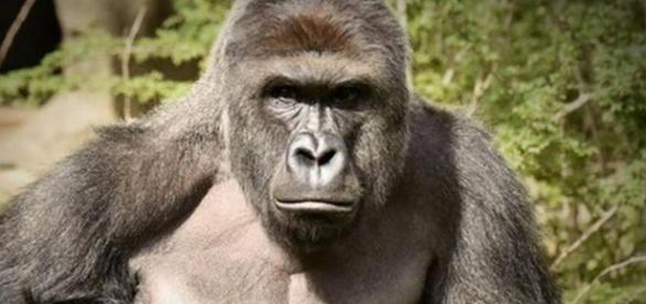"After Harambe's death, gorilla activists point to ""bigger picture ..."