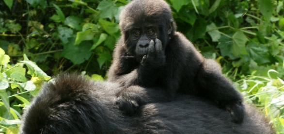 Gorilla's in the wild (Wikipedia)