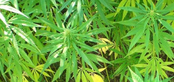 Legalizzazione cannabis Italia: arriva il 'Sì' degli esperti.