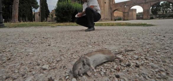 Roma, i topi invadono la Capitale
