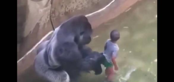 O gorila assassinado no zoológico nos EUA