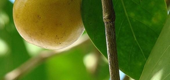 """O fruto da """"maçã da morte"""" é atraente e doce. (By Dick Culbert, Flickr)"""