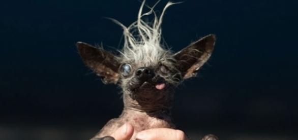 Sweepee Rambo, o cão mais feio do mundo é o resultado da mistura das raças cristado chinês e chihuahua.