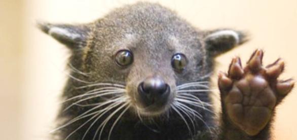 Binturongue é um animal em extinção que vive no sudeste da Ásia