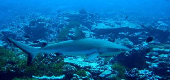 Gray reef sharks patrolling coral reef. Photo: NOAA Public Domain image.