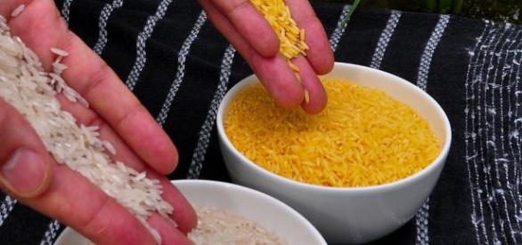 De acordo com pesquisas, o arroz dourado foi modificado geneticamente com objetivo de diminuir a carência de vitamina A