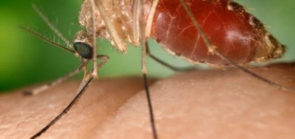 Pernilongo doméstico é apontado pela Fiocruz como provável transmissor da zika