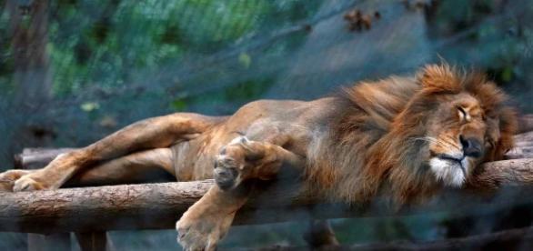 León desnutrido dormido en el zoo venezolano