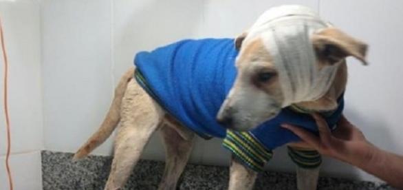 O cão teve traumatismo craniano e quase perdeu um olho