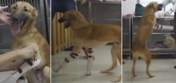 Cachorro fica muito feliz ao receber próteses