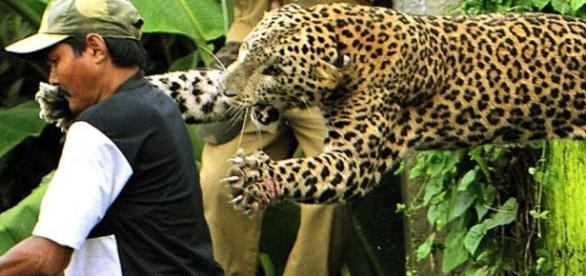 Atacul unei feline dezlănţuite
