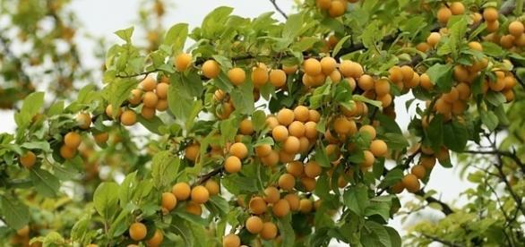 Mirabelki obficie owocują (fot. krolestworoslin.pl)
