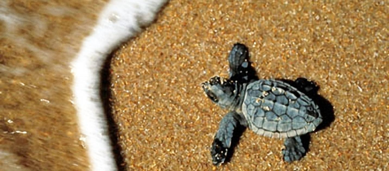 sardegna tartaruga marina sceglie come nido la spiaggia