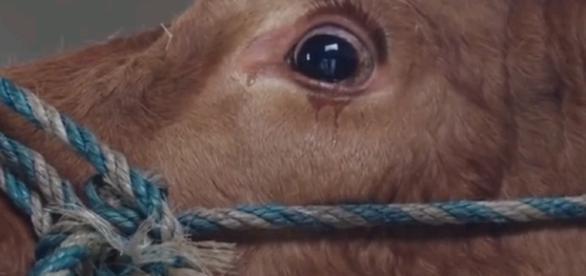 Vaca empieza a llorar cuando era llevada al matadero. (Foto: Captura de YouTube)
