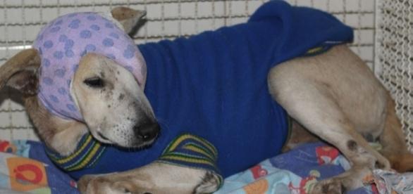 Cão continua em tratamento veterinário (Foto: Evelyn Lee/ PMCI)