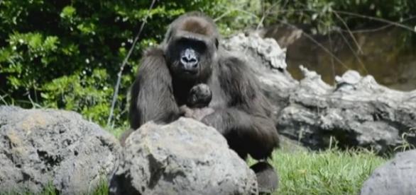 Primer abrazo de mamá gorila y su bebé tras el alumbramiento.