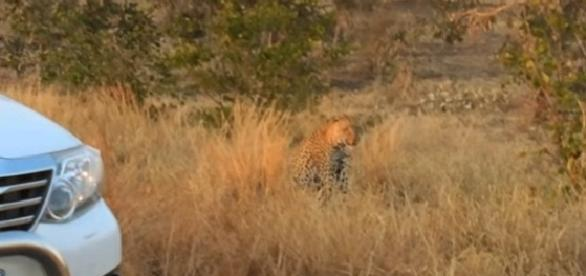 Preciso momentos donde leopardo es grabado intentando cazar a un puercoespín.