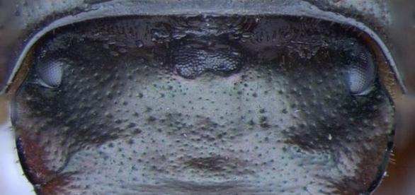 Após ter gene desligado, besouro nasceu com três olhos. Clique na foto. (Indiana University)