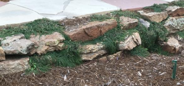 Moss rock wall with Elfin Thyme. Photo Credits Dave White