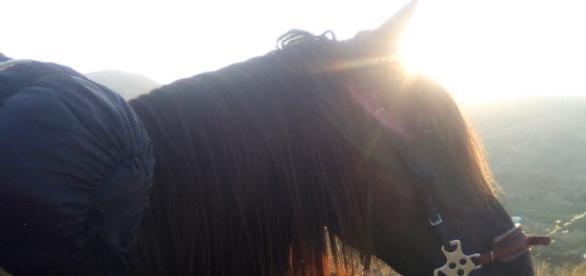 Rendre un peu de liberté au cheval, en utilisant un hackamore
