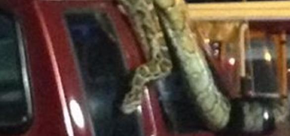 Mulher se depara com uma cobra gigantesca.