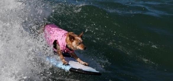 Competição de surfe entre cães aconteceu na Califórnia