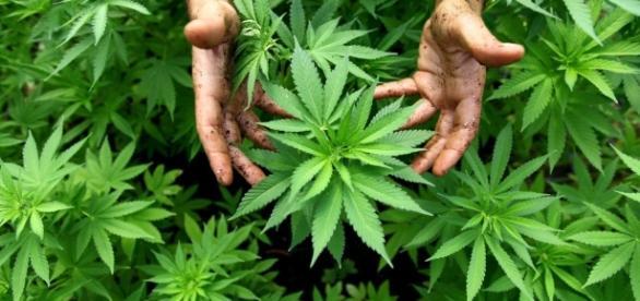 Marijuana, i numeri e le regole in Europa (INFOGRAFICA ... - repubblica.it