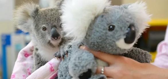 Shayne e seu melhor amigo de pelúcia - Foto: Ben Beaden/Australia Zoo/AFP