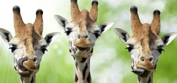 """Las """"jirafas"""" son en realidad cuatro especies diferentes."""