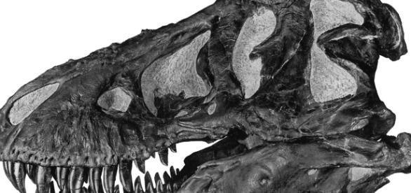 Tyrannosaurus-Schädel, A.E. Anderson - http://digitallibrary.amnh.org/dspace/handle/2246/49 (Gemeinfrei/Wikimedia)
