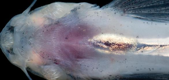 Candiru é considerado um parasita (foto: fineartamerica.com)